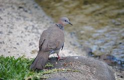 Spotted dove in Kauai Stock Image