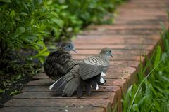 Spotted Dove is on the lawn. stock photography