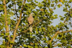 Male Spotted Dove on Branch. This Spotted Dove male, pinkish brown with black patches with white spots on either side of its neck is perched on a tree branch royalty free stock images