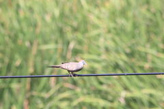 Spotted dove in morning Royalty Free Stock Photos