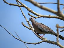 Spotted Dove perched on a tree Royalty Free Stock Photo