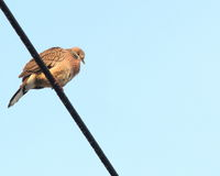 Spotted dove perched on wire. A spotted dove perched on a high voltage electric wire Royalty Free Stock Image