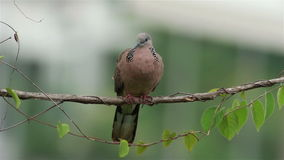 Spotted Dove. Perching on a branch in the morning light stock video