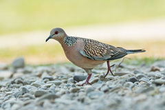 Spotted dove. Portrait of Spotted dove bird at Jim Corbett National Park, Nainital, India Stock Images