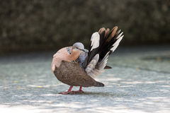 Spotted Dove preen feathers Stock Images
