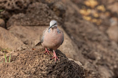 Spotted Dove on rock Royalty Free Stock Images