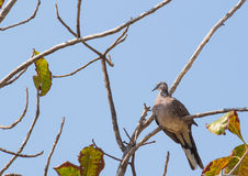 Spotted dove sitting on the tree branch Royalty Free Stock Photo