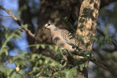 Spotted Dove sitting in the tree crown in the shade on a bright Stock Image