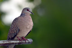 Spotted dove. Solitary spotted dove perched on a metal pipe Stock Image