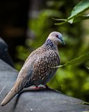 Spotted dove or long-tailed pigeon royalty free stock photo