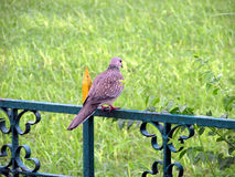 Spotted dove. The Spotted Dove (Spilopelia chinensis) is a small and somewhat long-tailed pigeon which is a common resident breeding bird across its native range Stock Photos
