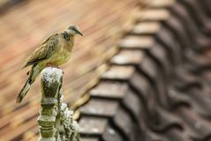 Spotted Dove - Spilopelia chinensis royalty free stock photos