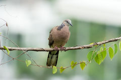 Spotted Dove 2 Stock Images