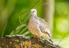 Spotted dove or Spotted turtle dove Stock Photos