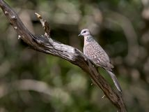 The spotted dove from Sri Lanka. The spotted dove Spilopelia chinensis Stock Image