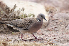 Spotted Dove (Streptopelia chinensis) Royalty Free Stock Images