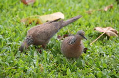 Spotted Dove (Streptopelia chinensis). In big islland, Hawaii stock image
