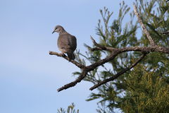 Spotted Dove (Streptopelia Chinensis). A Spotted Dove in Melbourne, Australia Royalty Free Stock Photography