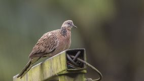 Spotted Dove on Iron Post. Spotted dove, Streptopelia chinensis, is perching on iron post at Botanic Gardens in Singapore Stock Photo
