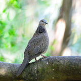 Spotted Dove Stock Photography