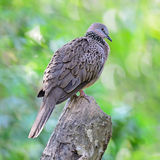 Spotted Dove Royalty Free Stock Photos