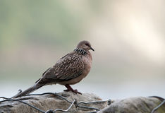 Spotted Dove (Streptopelia Chinensis) Royalty Free Stock Photos