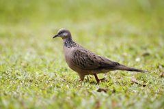 Spotted dove, Streptopelia chinensis Stock Image