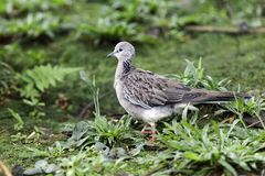 Spotted dove, Streptopelia chinensis Stock Photos