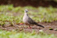 Spotted dove, Streptopelia chinensis Stock Images