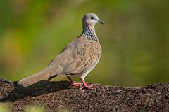 Spotted Dove - Streptopelia Spilopelia  chinensis small long-tailed pigeon, also known as mountain dove, pearl-necked dove, lace. Necked dove, or spotted turtle stock photo