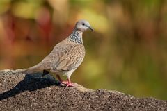 Spotted Dove - Streptopelia Spilopelia  chinensis small long-tailed pigeon, also known as mountain dove, pearl-necked dove, lace. Necked dove, or spotted turtle royalty free stock images