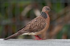 Spotted Dove - Streptopelia Spilopelia  chinensis small long-tailed pigeon, also known as mountain dove, pearl-necked dove, lace. Necked dove, or spotted turtle royalty free stock photo