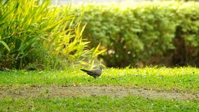 Spotted dove is walking stock video footage
