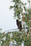 Spotted eagle Royalty Free Stock Photography