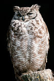 Spotted Eagle-owl Royalty Free Stock Image