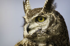 Spotted Eagle owl. Close head portrait of a staring spotted eagle owl on grey background Royalty Free Stock Images