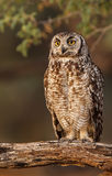 Spotted Eagle Owl. In afternoon sun Royalty Free Stock Image