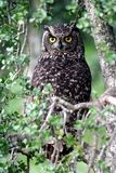 Spotted Eagle Owl Royalty Free Stock Photos
