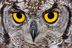 Spotted Eagle Owl. African Spotted Eagle Owl with large piercing yellow eyes in macro portrait Stock Photo