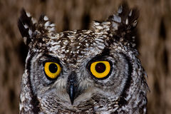 Spotted Eagle Owl. African Spotted Eagle Owl with large piercing yellow eyes in macro portrait Stock Images