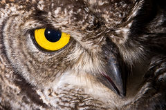 Spotted Eagle Owl. African Spotted Eagle Owl with large piercing yellow eyes in macro portrait Royalty Free Stock Photography