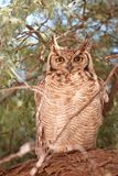 Spotted Eagle Owl (Bubo Africanus) Stock Images