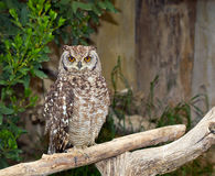 Spotted Eagle-Owl (Bubo africanus) Stock Photos