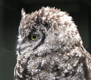 Spotted Eagle owl Bubo africanus Stock Photography