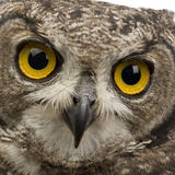 Spotted Eagle-owl - Bubo africanus (8 months) Stock Photography