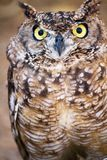 Spotted Eagle-owl (Bubo africanus) Stock Photo