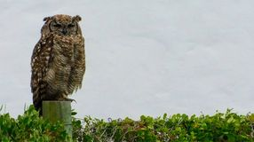 Spotted Eagle Owl dozing. A spotted eagle owl Bubo Africanus dozing in the late afternoon - green shrub. White background stock photos