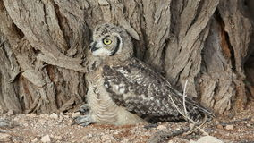 Spotted eagle-owl stock video