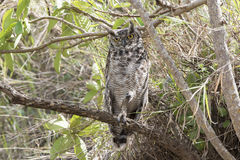 Spotted Eagle-Owl Bubo africanus Perched in a Tree in Daylight Royalty Free Stock Photo