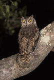 Spotted Eagle Owl (Bubo africanus) Stock Photos